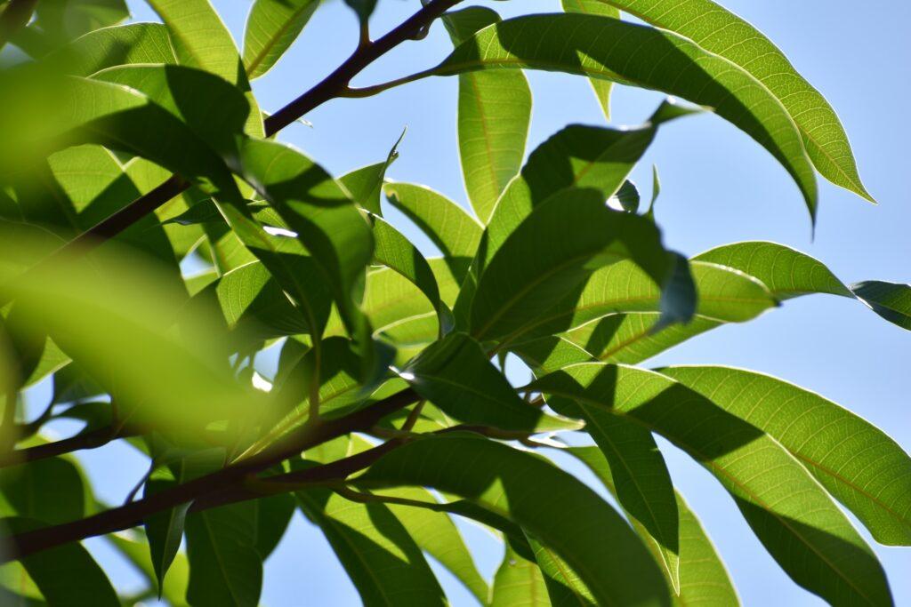 Mango Information In Marathi
