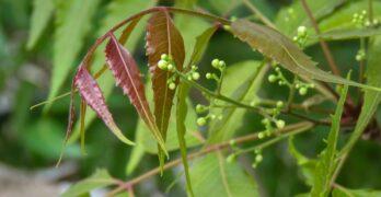 Neem Tree Information In Marathi