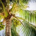 Coconut Tree Information In Marathi|