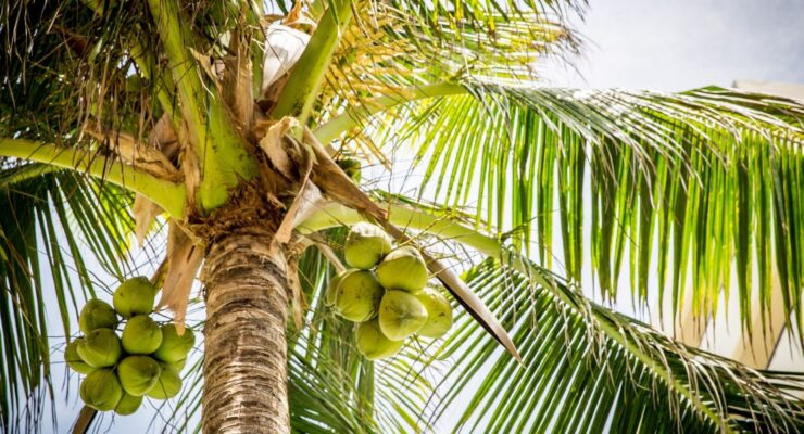 Coconut Tree Information In Marathi|