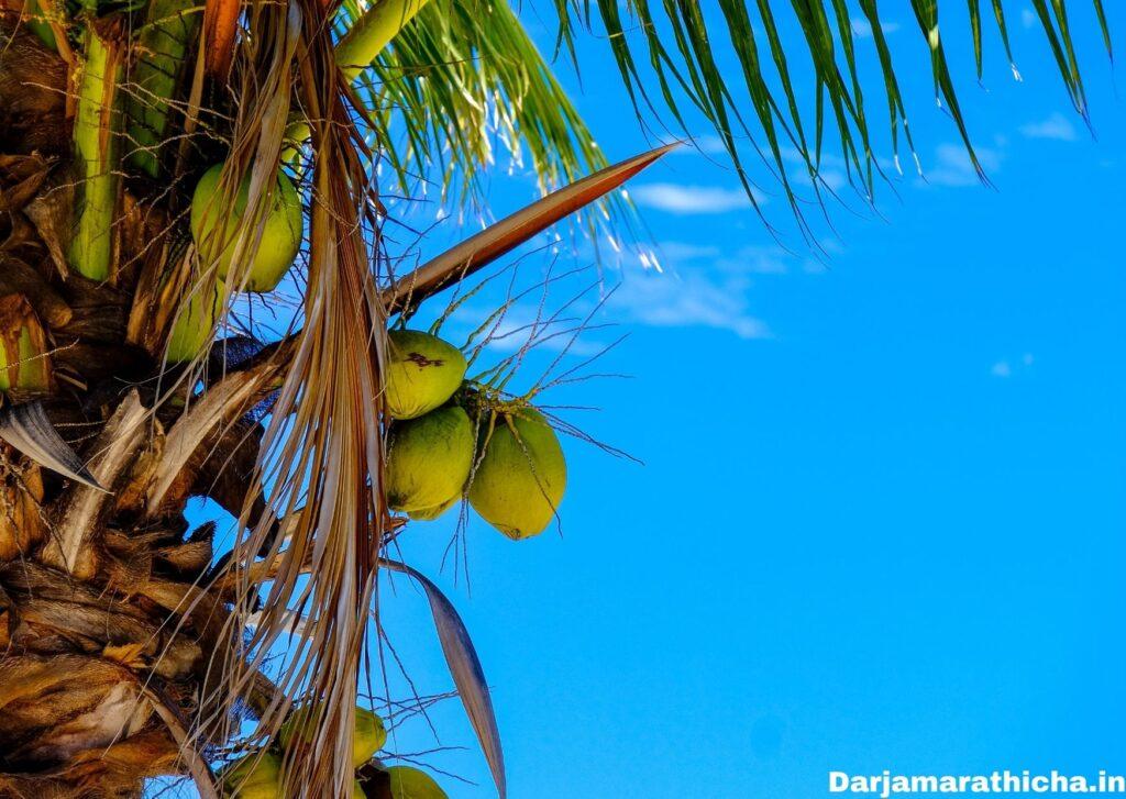 Coconut Tree Information In Marathi