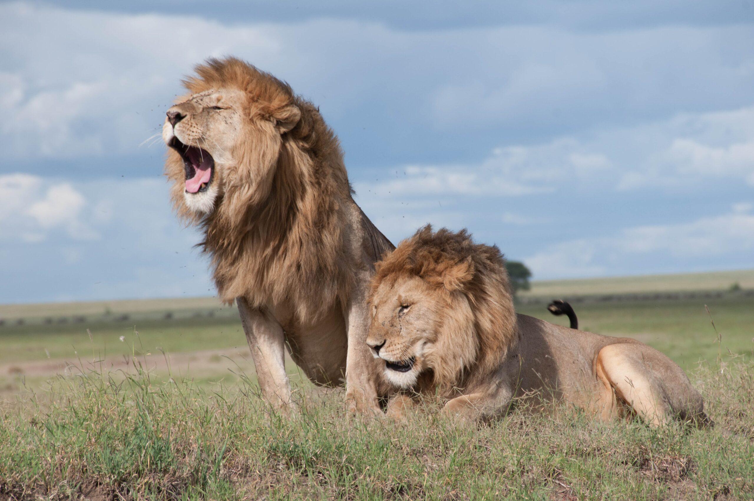lion information in marathi